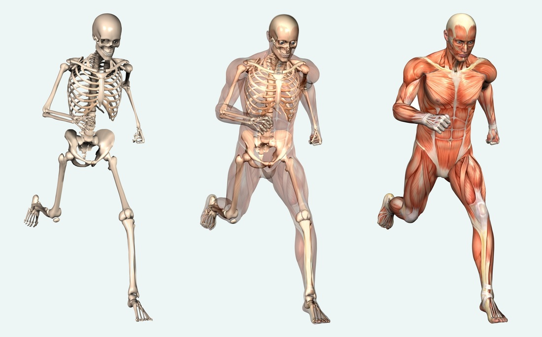 10:1 the skeletal and muscular systems - lessons - tes teach, Muscles